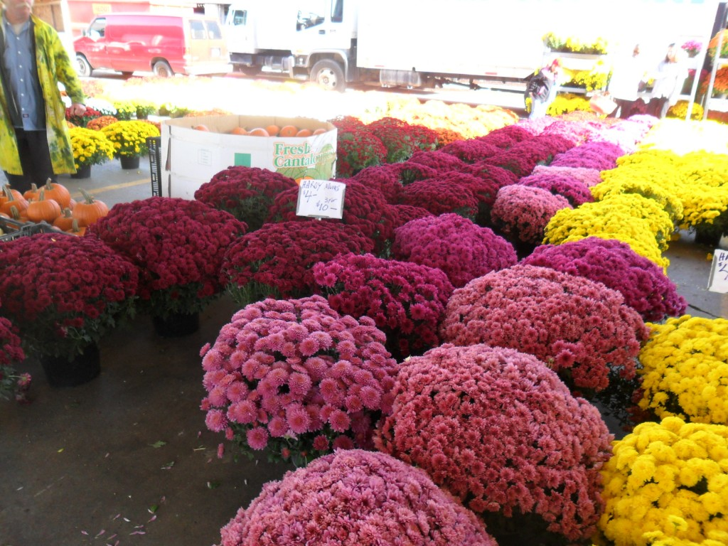 Potted hardy mums