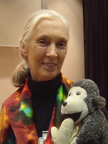 Jane Goodall is known for her work in studying chimpanzees. (Photo Credit: Jeekc via Wikimedia Commons)